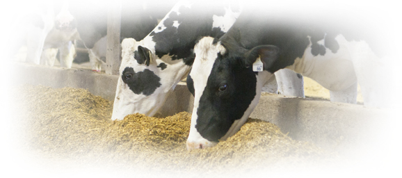 holsteins eating silage