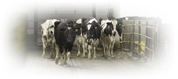 Stanlee Farm cows