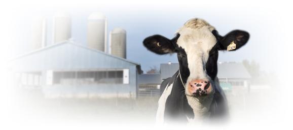 holstein cow on farm