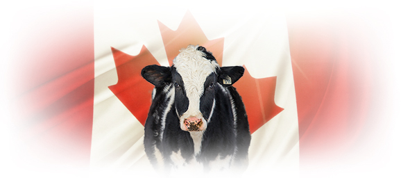 holstein cow with canadian flag background