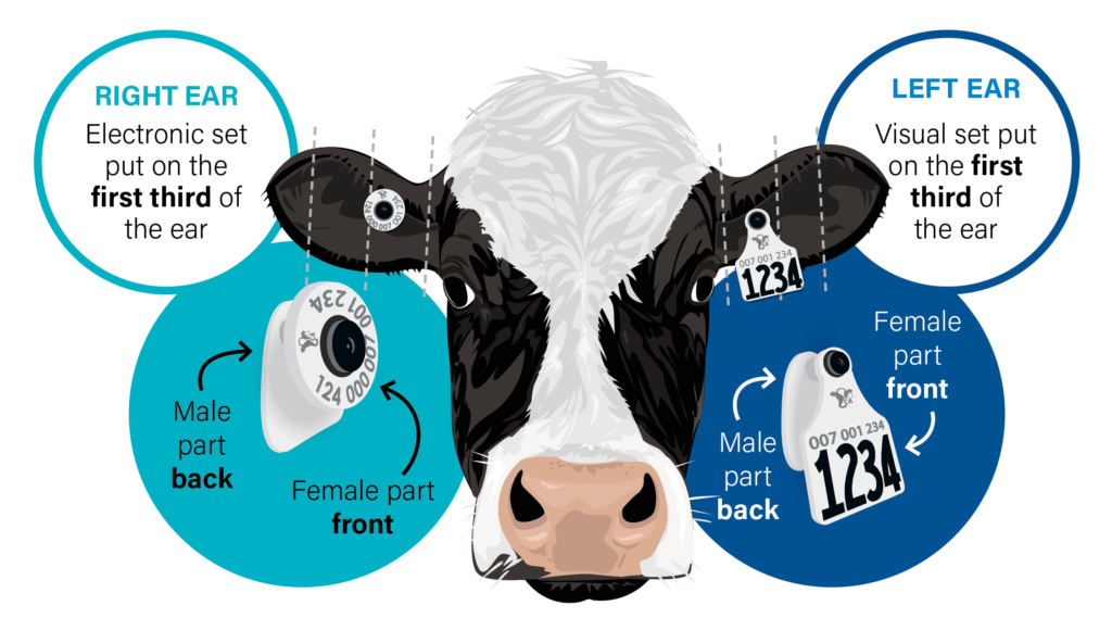 Tag Placement for Dairy Cows